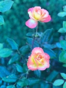 Blossoming pink roses
